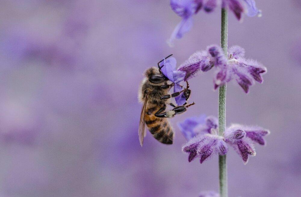 Prantsusmaa keelustas esimese Euroopa riigina mesilasi ohustavad neonikotinoidid