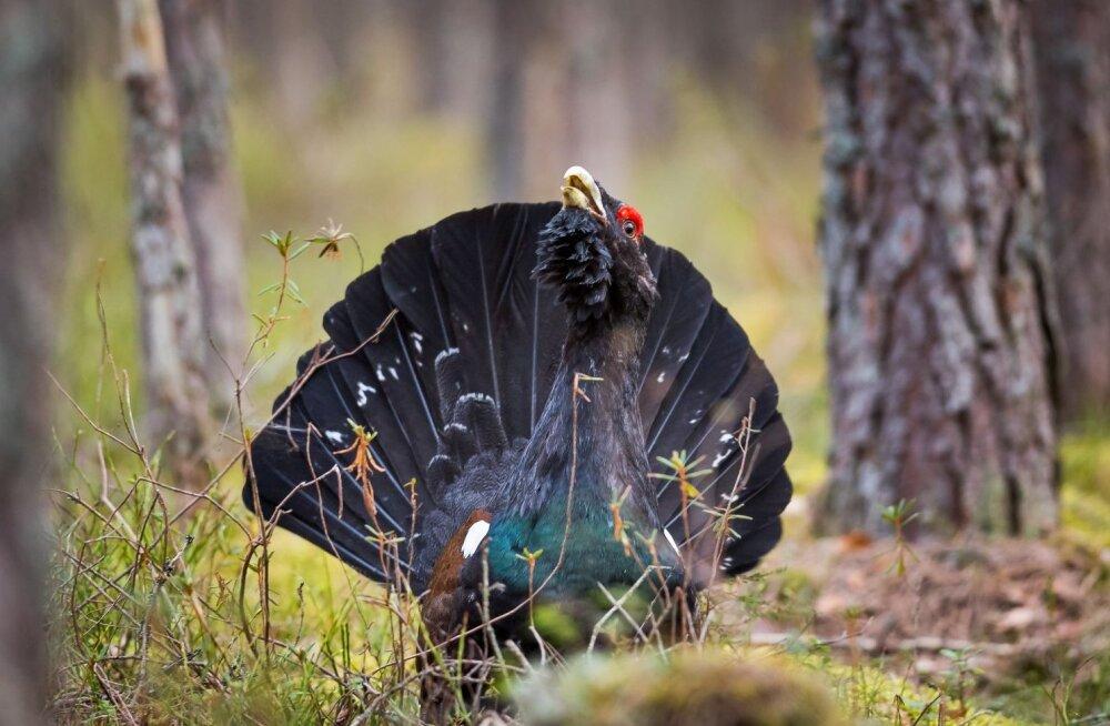 Tänavune aasta lind on metsis