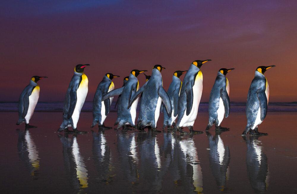 Maailma suurimast kuningpingviinide kolooniast on alles vaid riismed
