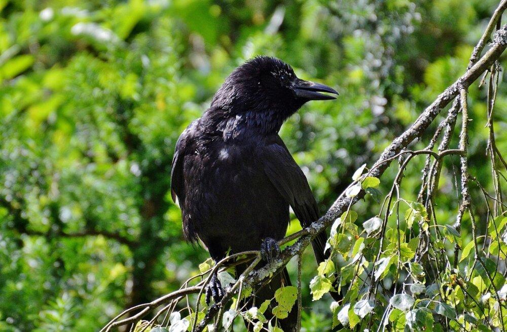 FOTOD | Halb enne? Haapsalu surnuaial on hukkunud mitmeid linde, ülejäänud käituvad eriskummaliselt
