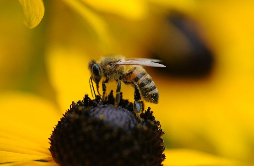 Targemad, kui me arvasime: mesilased on teadaolevalt esimesed putukad, kes saavad aru number nulli keerulisest tähendusest!