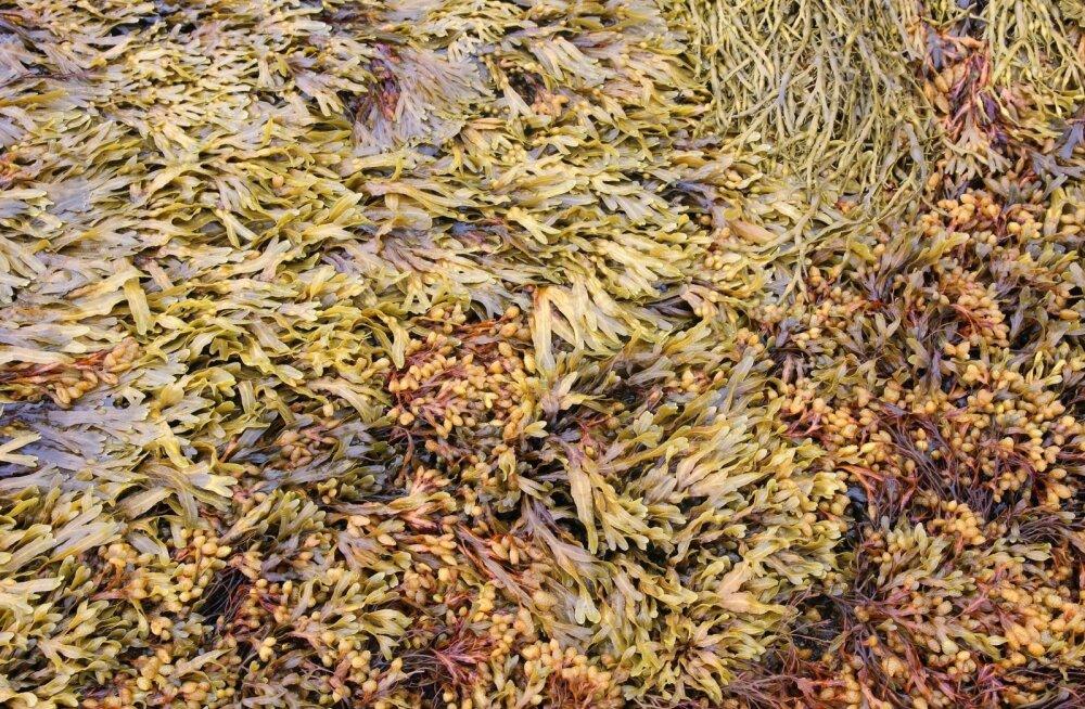 Vetikatest valmiv Neko merevetikaekstrakt sisaldab kasvuhormoone ja mikrolemente.