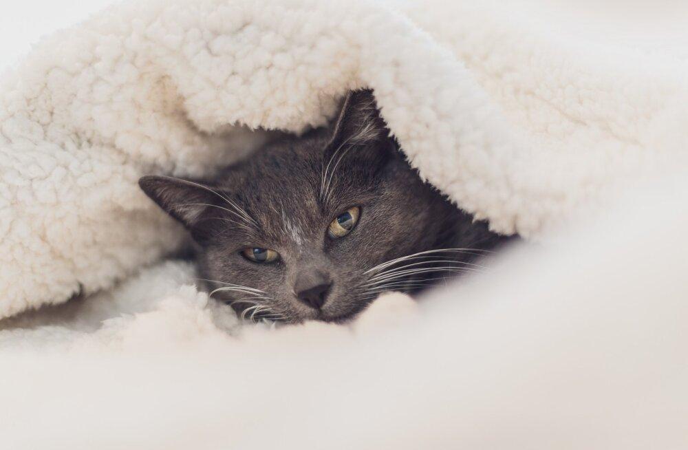Kass Dracula: vampiirkihvadega kiisu ja tema liigutav lugu puges igale Pesaleidja vabatahtlikule sügavale hinge