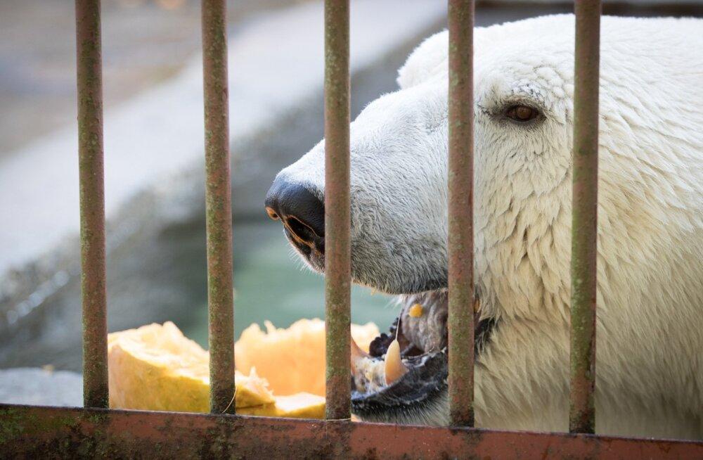 Loomaaia kõrvitsapidu