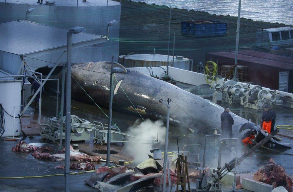 SAAK VÕI OHVER? Juulis plahvatas vaalaküttide harpuunipea selle, ema poolt kaitsealuseks sinivaalaks osutunud hiidimetaja kehas. Kuna tegemist osutus olevat hübriidiga, siis Islandi seadusi siiski ei rikutud.