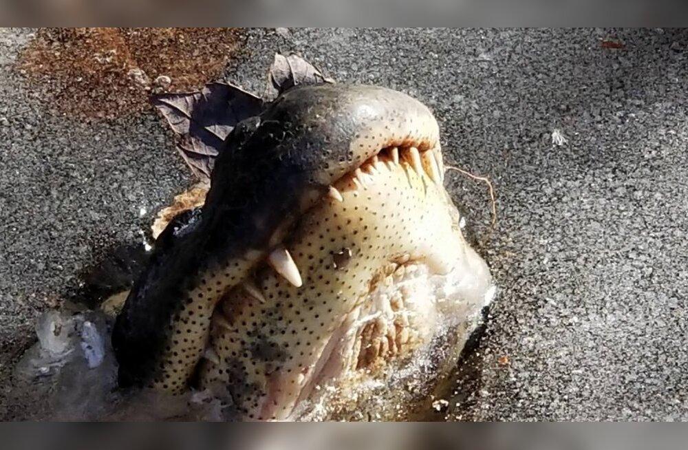 Ootamatud miinuskraadid külmutasid USA looduspargis alligaatorid jäässe kinni