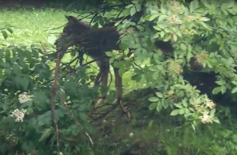 VIDEO | Poolas langesid lapsed hundirünnaku ohvriks