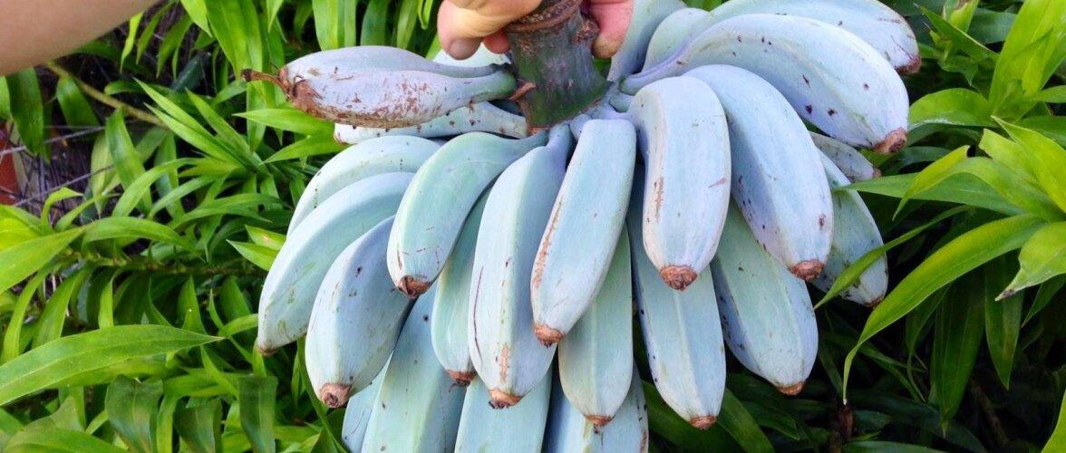 USKUMATU LUGU | Haapsalus saab edukalt siniseid banaane kasvatada. Vaata, kuidas see võimalik on!