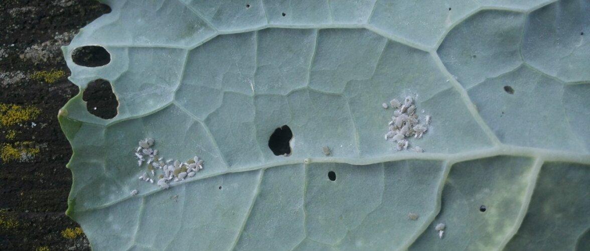 Esimeste kahjurite ilmumisel võib need näpu vahel laiaks litsuda või rohelise seebi veega maha uhtuda.
