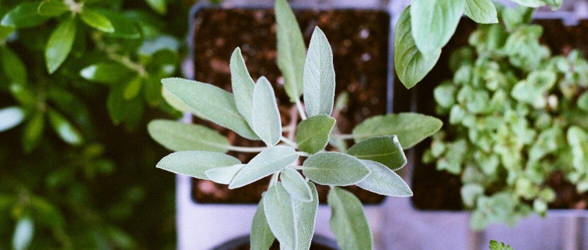 NÕUANDEID | Kõik, mida tasub teada maitsetaimede kasvatamisest ja säilitamisest