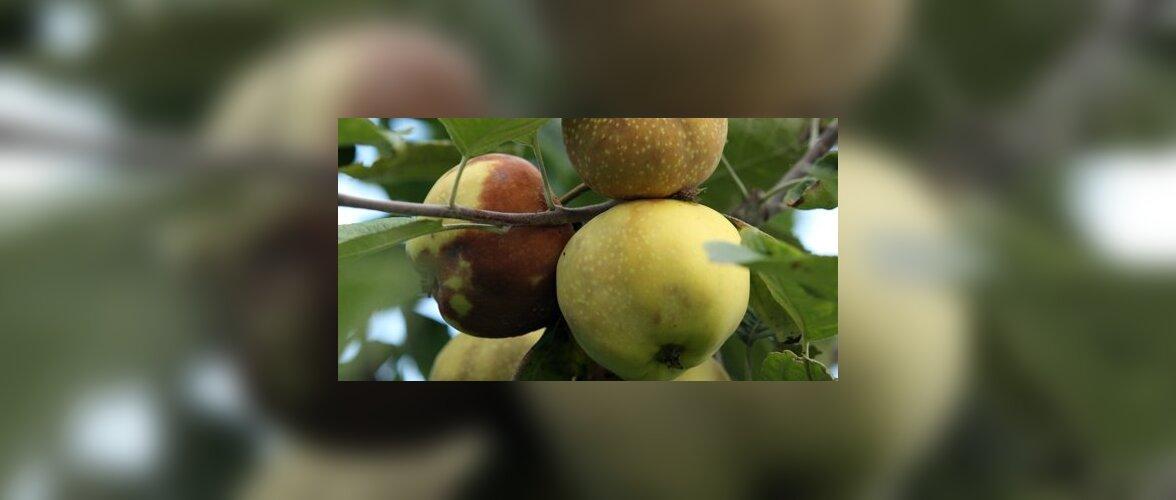 Miks õunad juba puu otsas mädanevad?