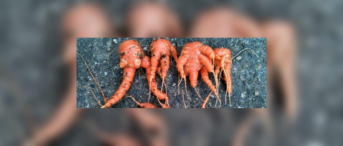 Porgandi väärarenguid põhjustab ebasobiv muld