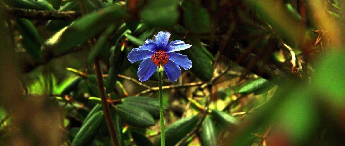 Встреча в горах Бутана: голубой мак оказался не мифом