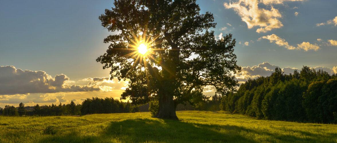 Голосуем! Эстонский дуб Тамме-Лаури претендует на звание европейского дерева года