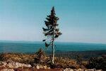 Kreeklased võtku kuraasi maha: ilmneb, et Euroopa vanim puu on hoopis see