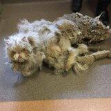 Šokeerivad FOTOD: Kass, kelle pulstunud karv kaalus üle poole tema enda kehakaalust, teeb läbi uskumatu muudatuse
