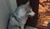 FOTOD: SUUR MAALRITÖÖ! Pere jätab husky 3 tunniks üksinda koju, koer kujundab elamise totaalselt ümber