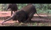 VIDEO: Loomad jäävad purju, kui nad söövad ühte kindlat puuvilja
