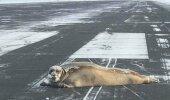 KURIOOSUM | Ennast täis hüljes peesitab maandumis- ja tõusurajal, mistõttu ei saa lennuk õhku tõusta