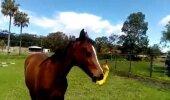 VIDEO: Tõeline rõõm! Pead lihtsalt nägema, mida teeb hobune, kui talle antakse mängimiseks piuksuv kana!