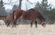 Hobused Vändra vallas 19. aprillil 2016