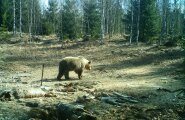 Бобер-путешественник и медведь-стриптизер удивили жителей Красноярского края