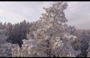 LUMMAV VIDEO: Kas teadsid, et Eesti kõrgeim puu ja maailma kõrgeim mänd kasvavad Põlvamaal külg külje kõrval?