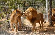 """Lesbikiskjad? Viis Botswana emalõvi kasvatasid omale lakad ja hakkasid """"mehiselt"""" käituma"""
