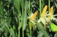 Põlva maisispäev