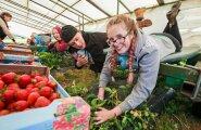 Eelmisel suvel võttis Tartumaa aiandusettevõtja Valdis Kaskema maasikakoristusele appi õpilasmalevalased Tallinnast. Esiplaanil (paremalt) on maasikakombainil tööhoos Marion Tummeleht ja Tristan Toomast.