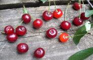 Kirsiuputus on kohal: kuus põhjust, miks terve puu viljadest tühjaks süüa