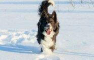 Veterinaarid annavad nõu emase koera omanikele