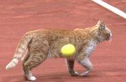 ВИДЕО: Теннисист запустил мячом в выбежавшую на корт кошку