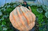 PILTUUDIS: Sakslane kasvatas koduaias pool tonni kaaluva kõrvitsa