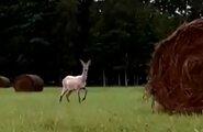 VIDEO: Saaremaa metsades elab valge metskits