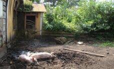 Üks siga on ohuks tuhandetele teistele