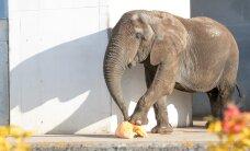 DELFI FOTOD: Loomaaia asukad lustisid kõrvitsatega