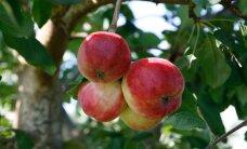 Laimjala õunaaed loobub bürokraatia tõttu suurtoetusest