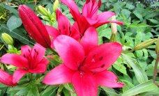 ФОТО читателя Delfi: Летом сады пестрят цветами