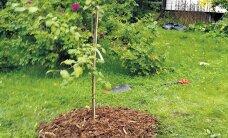 HEA TEADA: Kuidas puu- ja põõsaaluseid korras hoida
