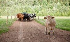 FOTOD: Millises Eesti talus elab sada õnnelikku lehma? Vaata järele!