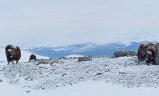 Parima välismaal pildistatud loodusfoto tegi Jarek Jõepera Norras Dovrefjellis