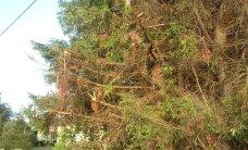 Räsitud puud on teehoolduse tulemus