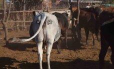 Loe, miks teadlased lehmatagumikele silmi maalivad (see pole riugas, vaid tõsine teadustöö)