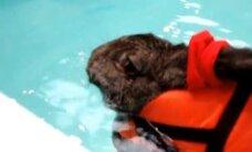 VIDEO: Küülik ravib liigesepõletikku basseinis ujudes
