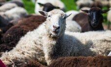 Möödakäija antud õunad tapsid 26 lammast