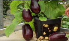 VIDEO: Kas kartulit ja tomatit saab kasvatada samal taimel?