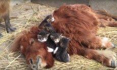 Imearmas VIDEO loomade sõprusest: kassipojad kallistavad poni ja kapibaara vaatab pealt