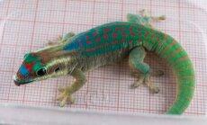 Teaduse nimel orbiidile saadetud gekod leiti surnuna