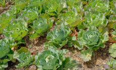 Korralik kapsas kasvab ka pestitsiidita